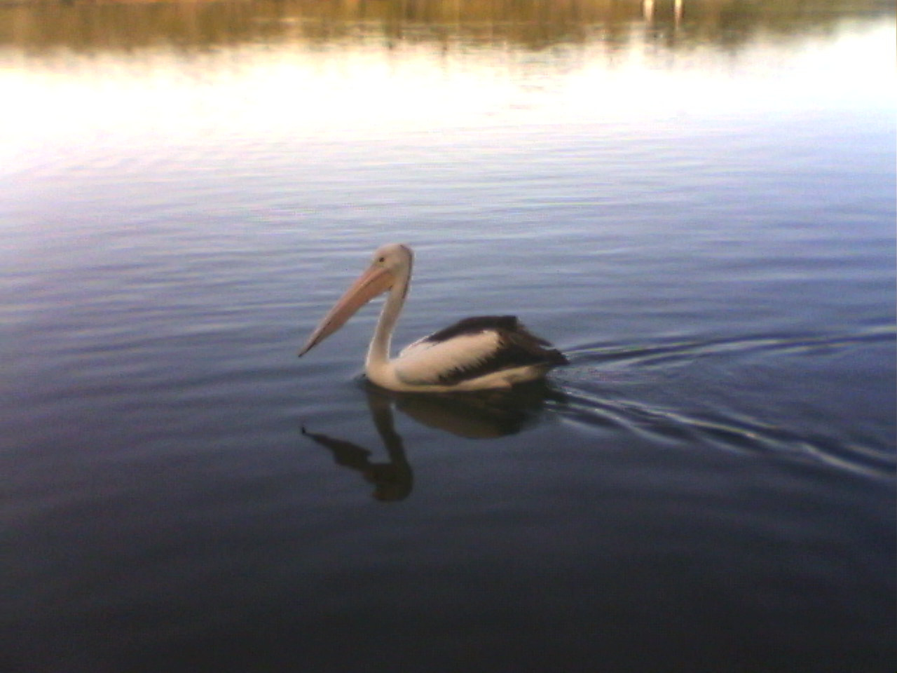 The Very Cheeky Pelican